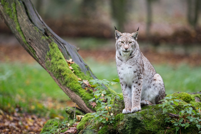 HD Wallpaper of Big Cat, Lynx, Wildlife, Predator, Animal