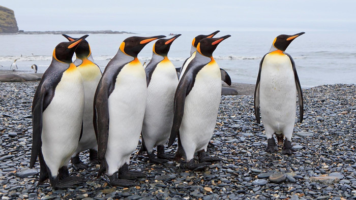 Wallpaper of Animal, Emperor Penguin, Penguin background & HD image