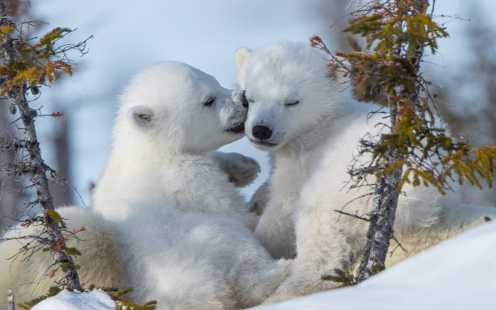 HD Wallpaper Baby Animal, Cub, Polar Bear, Wildlife