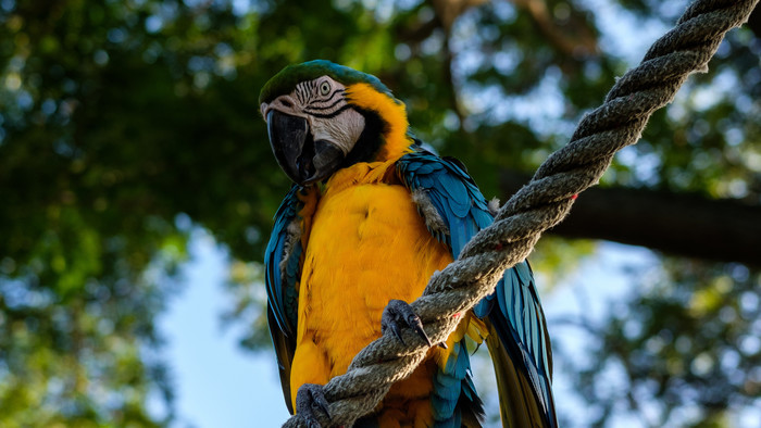 HD Wallpaper of Parrot Ara, Bird, Rope, Sits