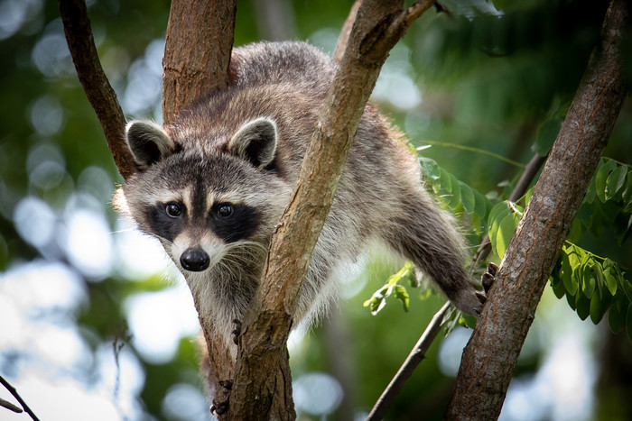 HD Wallpaper of Raccoon, Wildlife, Animal. Face