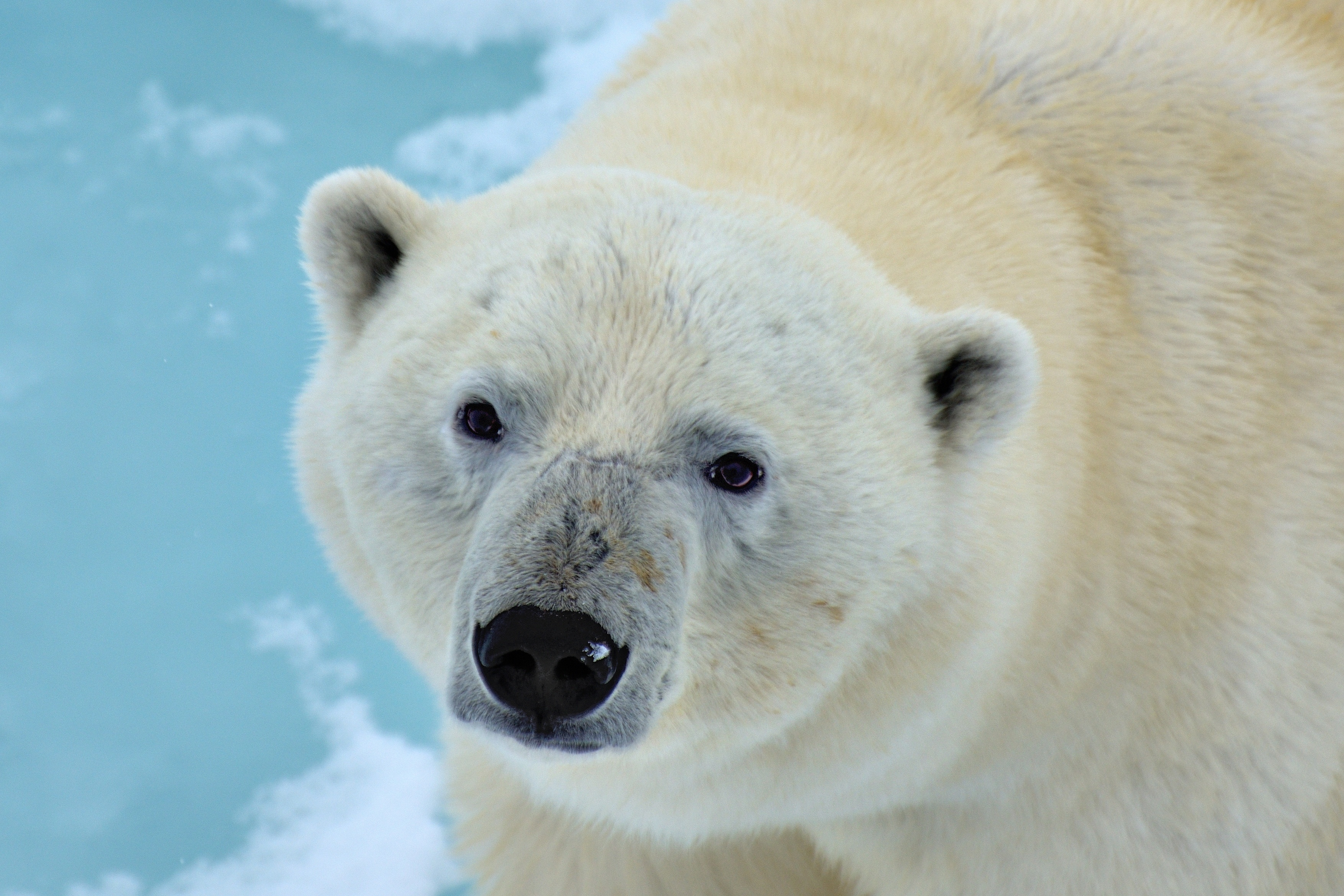 wallpaper of polar bear, stare, wildlife, predator, animal desktop
