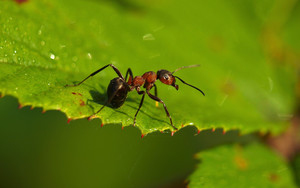 Preview wallpaper of Ants, Insects, Foliage, green, macro