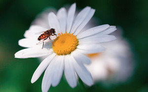 Preview wallpaper Flower, Insect, sammer, bee