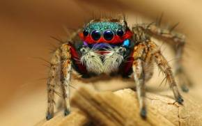 Смотреть обои Yасекомое, Паук, Colorful Jumping Spider
