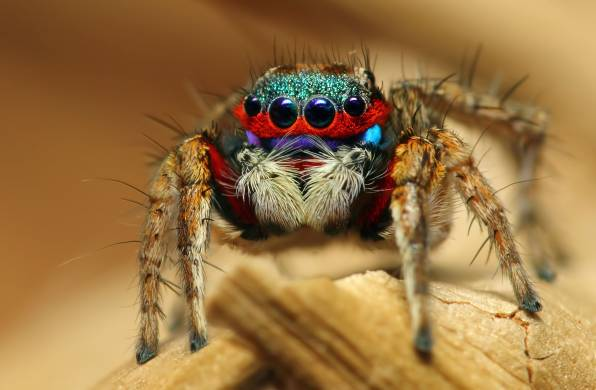 Wallpaper of Yасекомое, Паук, Colorful Jumping Spider background & HD image