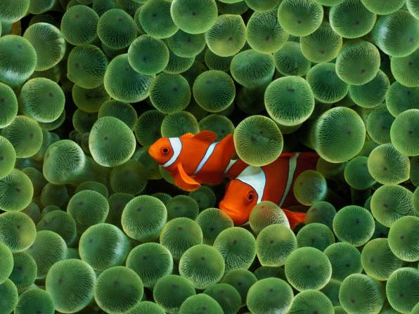 HD Wallpaper Fish, Clown, Algae