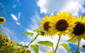 Preview wallpaper  Sunflowers, <b>Field</b>, Sky