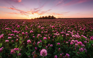 Preview wallpaper Field, Flower, Nature, Pink Flower, Sunrise