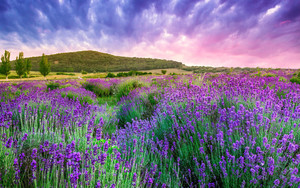 Preview wallpaper Lavender, field, Mountain, Provence
