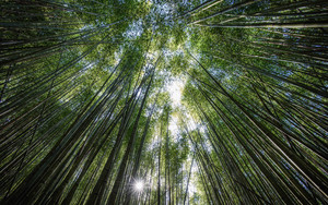 Смотреть обои Trees, Bottom View, Bamboo, Light