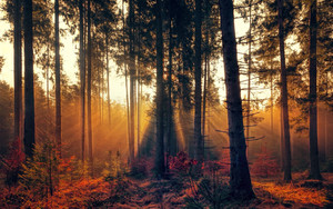 Preview wallpaper of Forest, Trees, Fog, Autumn