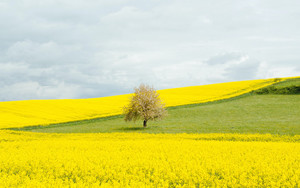 Preview wallpaper field, tree, yellow
