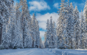 Preview wallpaper of Forest, Pine, Snow, Nature