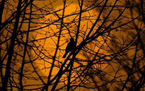 Preview wallpaper  Bird, <b>Trees</b>, Silhouette, Twigs