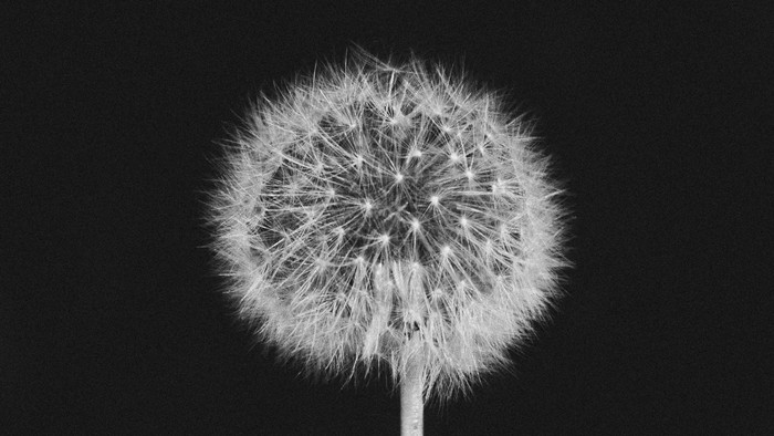 HD Wallpaper Dandelion, Pooh, Black and White