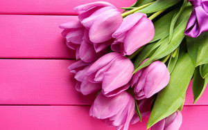 Preview wallpaper of flowers, tulips, purple, pink