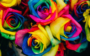 Preview wallpaper of Roses, Multicolored, Rainbow