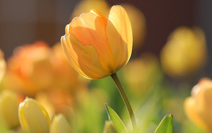 Preview wallpaper  <b>flowers</b>, tulips, yellow, spring