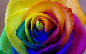Preview wallpaper of Rose Flower, Rainbow, Bud, Multicolored