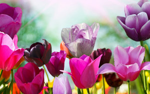 Preview wallpaper of flowers, tulips, red, spring, pink, purple