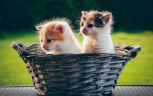 Смотреть обои Baby, Animal, Basket, Cat, Kitten, Pet