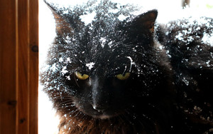 Preview wallpaper of Cat, Pet, Snow, Winter