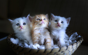Смотреть обои Baby Animal, Cat, Kitten, Pet