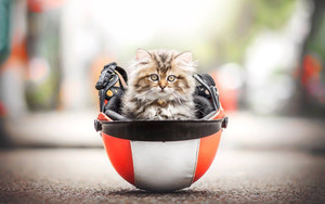 Смотреть обои Baby, Animal, Cat, Helmet, Kitten, Pet