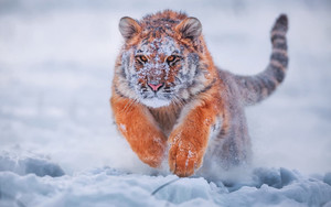 Preview wallpaper of Tiger, Winter, Snow