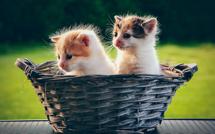 HD Wallpaper of Baby, Animal, Basket, Cat, Kitten, Pet