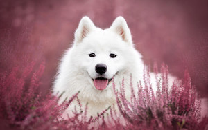 Preview wallpaper of Dog Flower, Pet, Samoyed, Stare
