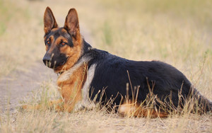 Preview wallpaper of Animal, Dog, German Shepherd, Pet