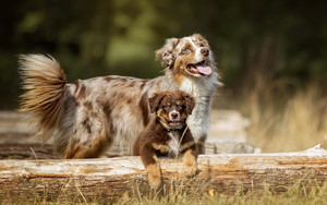 Preview wallpaper of Animal, Dog, Australian Shepherd, Puppy
