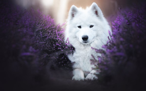 Preview wallpaper of Dog, Heather, Pet, Samoyed