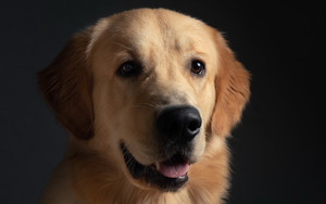 Preview wallpaper of Dog, Golden Retriever, Pet