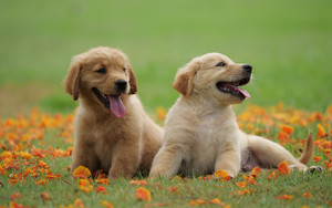 Preview wallpaper of Animal, Baby, Dog, Golden Retriever, Pet, Puppy