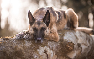 Preview wallpaper of Dog, German Shepherd, Pet