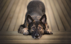 Preview wallpaper of Animal, Dog, German Shepherd, Pet, Stare
