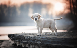Preview wallpaper of Baby, Animal, Dog Labrador, Retriever, Pet, Puppy