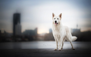 Смотреть обои Animal, Swiss Shepherd, Dog, White, Blur