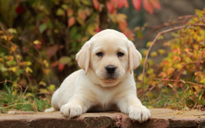 Preview wallpaper of Baby Animal, Dog, Labrador Retriever, Pet, Puppy