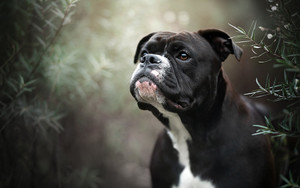 Preview wallpaper of Boxer, Dog, Pet