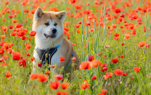 Preview wallpaper of Animal, Akita, Dog