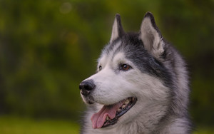 Preview wallpaper of Animal, Dog, Husky, Pet