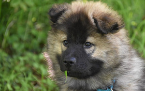 Preview wallpaper of Baby, Animal, Dog, Eurasier, Pet, Puppy