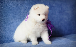 Preview wallpaper of Animal, Dog, Puppy, Samoyed
