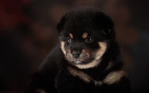 Preview wallpaper of Baby Animal, Dog, Pet, Puppy, Lana Polyakova