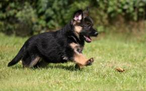 Смотреть обои german shepherd, puppy, dog, pet