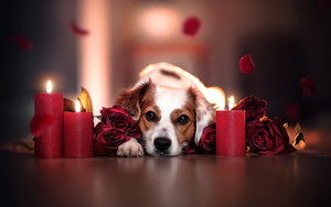 Preview wallpaper of Candle, Dog. Flower, Pet, Rose